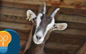 Acertijo del pastor la cabra y la lechuga